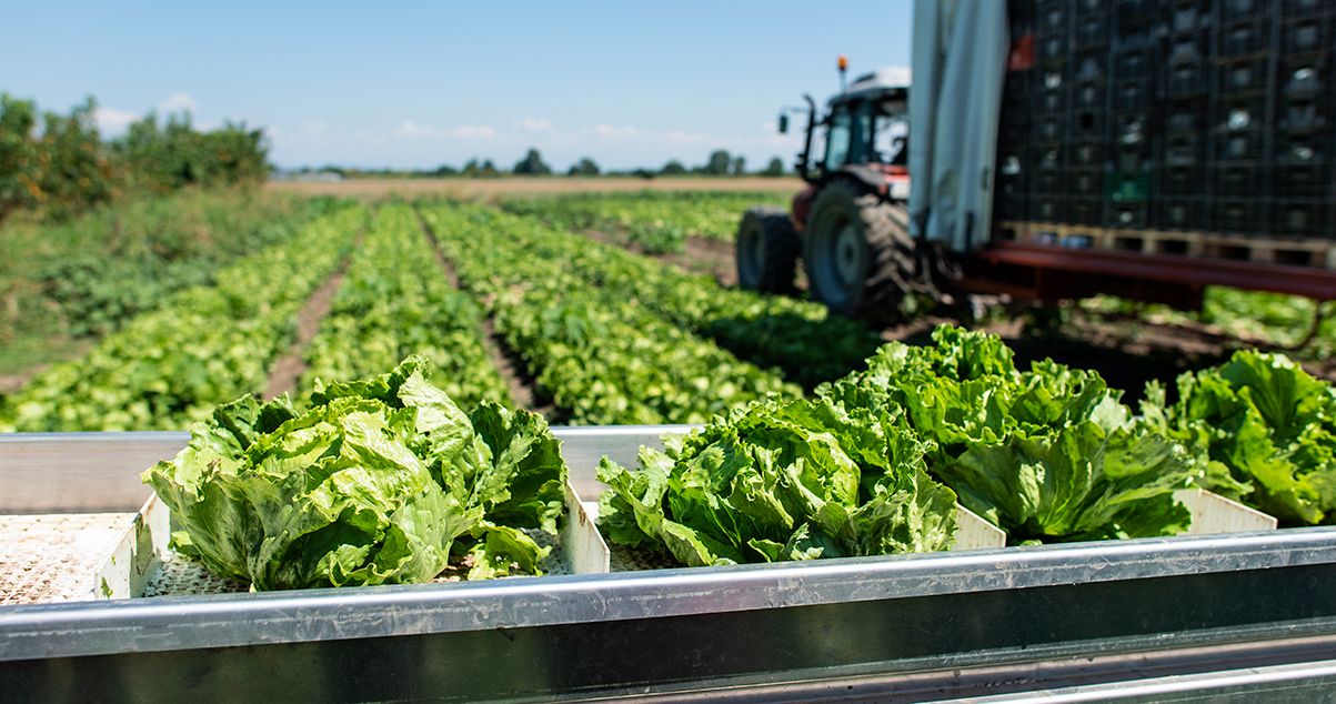 tractor and lettuce production line